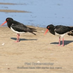 Haematopus longirostris (Pied Oystercatcher) at Comerong Island, NSW - 21 Jan 2019 by CharlesDove