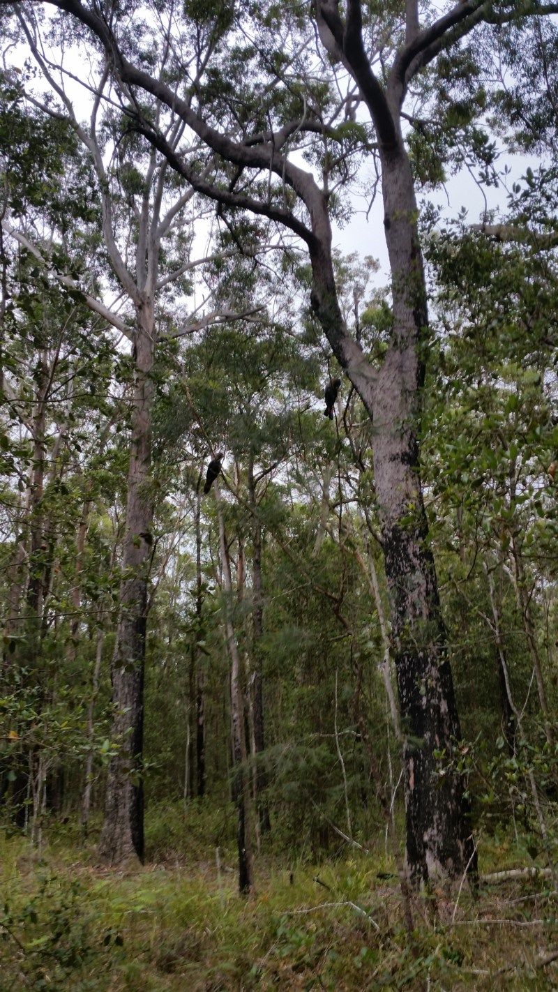 Calyptorhynchus lathami at Conjola National Park - 28 Jan 2019