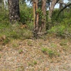 Varanus varius (TBC) at Conjola National Park - 29 Jan 2019 by Clear
