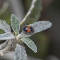 Diomus notescens (Two-spotted ladybird) at Higgins, ACT - 6 Nov 2018 by AlisonMilton