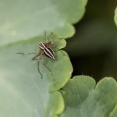 Oxyopes sp. (genus) (Lynx spider) at Higgins, ACT - 6 Nov 2018 by Alison Milton