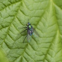 Dolichopodidae sp. (family) (Unidentified Long-legged fly) at Higgins, ACT - 6 Nov 2018 by AlisonMilton