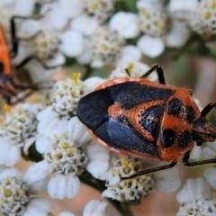 Agonoscelis rutila (Horehound bug) at Brindabella National Park - 29 Jan 2019 by JohnBundock