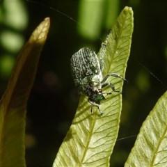 Diphucephala sp. (genus) (Green Scarab Beetle) at Namadgi National Park - 29 Jan 2019 by JohnBundock