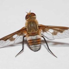 Villa sp. (genus) (Unidentified Villa bee fly) at Evatt, ACT - 27 Jan 2019 by TimL