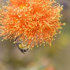 Lasioglossum (Chilalictus) sp. (genus & subgenus) (Halictid bee) at ANBG - 10 Dec 2018 by Alison Milton