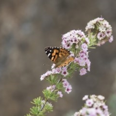 Vanessa kershawi (Australian Painted Lady) at ANBG - 11 Dec 2018 by Alison Milton