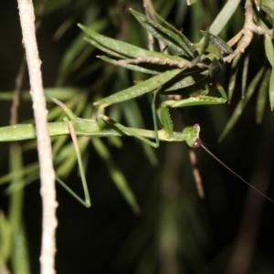 Pseudomantis albofimbriata at Ainslie, ACT - 27 Jan 2019