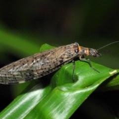 Archichauliodes (Riekochauliodes) guttiferus (Dobsonfly or Fishfly) at ANBG - 29 Jan 2019 by TimL