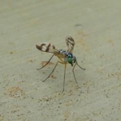 Austrosciapus connexus (Green long-legged fly) at Fyshwick, ACT - 28 Jan 2019 by MatthewFrawley