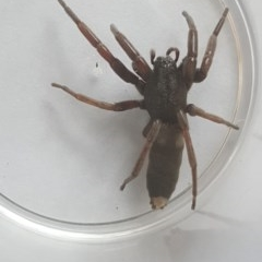 Lampona sp. (genus) (White-tailed spider) at Isaacs, ACT - 30 Jan 2019 by Mike