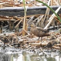 Anas superciliosa (Pacific Black Duck) at Jerrabomberra Wetlands - 28 Jan 2019 by MatthewFrawley