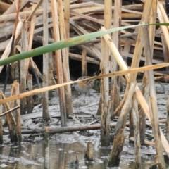 Zapornia pusilla (Baillon's Crake) at Jerrabomberra Wetlands - 28 Jan 2019 by MatthewFrawley