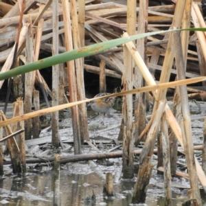 Zapornia pusilla at Jerrabomberra Wetlands - 28 Jan 2019