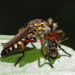 Thereutria amaraca (Spine-legged Robber Fly) at ANBG - 29 Jan 2019 by TimL