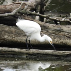 Egretta garzetta (Little Egret) at Jerrabomberra Wetlands - 28 Jan 2019 by MatthewFrawley
