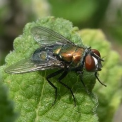 Lucilia cuprina (Australian sheep blowfly) at Kambah, ACT - 30 Jan 2019 by HarveyPerkins
