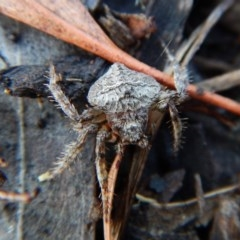 Dolophones conifera (Wrap-around spider) at Mount Painter - 29 Jan 2019 by CathB