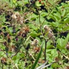 Carduelis carduelis (European Goldfinch) at Jerrabomberra Wetlands - 30 Jan 2019 by RodDeb