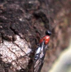 Pycnobraconoides sp. (genus) (A Braconid wasp) at Mount Ainslie - 23 Jan 2019 by jbromilow50