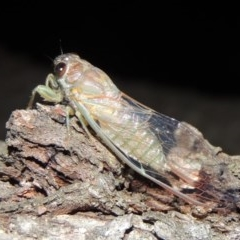 Galanga labeculata (Double-spotted cicada) at Conder, ACT - 11 Jan 2019 by michaelb