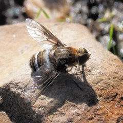 Villa sp. (genus) (Unidentified Villa bee fly) at Namadgi National Park - 13 Jan 2019 by KenT
