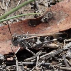 Oedaleus australis (Australian Oedaleus) at Mulligans Flat - 27 Jan 2019 by HarveyPerkins