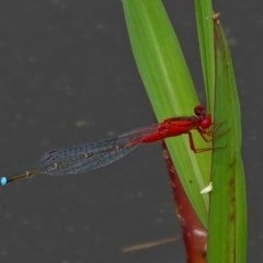 Xanthagrion erythroneurum (Red and Blue Damsel) at Brogo, NSW - 1 Feb 2019 by MaxCampbell