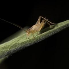 Trigonidiinae sp. (subfamily) (Unidentified winged bush cricket) at Tuggeranong DC, ACT - 27 Jan 2019 by WarrenRowland