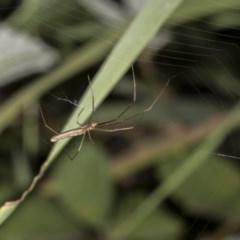 Tetragnatha sp. (genus) (Long-jawed spider) at Tuggeranong DC, ACT - 27 Jan 2019 by WarrenRowland