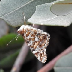 Vanessa kershawi (Australian Painted Lady) at ANBG - 31 Jan 2019 by RodDeb