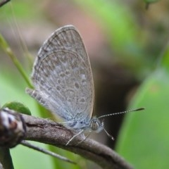 Zizina otis (Common Grass-blue) at ANBG - 31 Jan 2019 by RodDeb