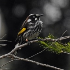 Phylidonyris novaehollandiae (New Holland Honeyeater) at ANBG - 31 Jan 2019 by RodDeb