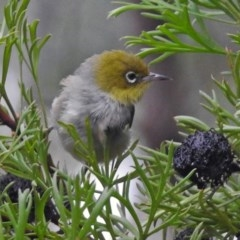 Zosterops lateralis (Silvereye) at ANBG - 31 Jan 2019 by RodDeb