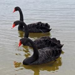Cygnus atratus (Black Swan) at Lake Burley Griffin West - 1 Feb 2019 by RodDeb