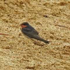 Hirundo neoxena (Welcome Swallow) at Lake Burley Griffin West - 1 Feb 2019 by RodDeb