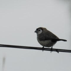 Taeniopygia bichenovii (Double-barred Finch) at Tuggeranong DC, ACT - 1 Feb 2019 by HelenCross
