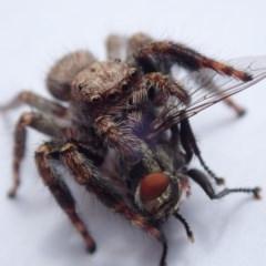 Servaea sp. (genus) (Unidentified Servaea jumping spider) at Spence, ACT - 2 Feb 2019 by Laserchemisty
