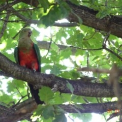 Alisterus scapularis (Australian King-Parrot) at Red Hill Nature Reserve - 30 Jan 2019 by TomT