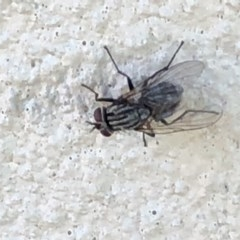 Sarcophagidae sp. (family) (Unidentified flesh fly) at Monash, ACT - 2 Feb 2019 by jackQ