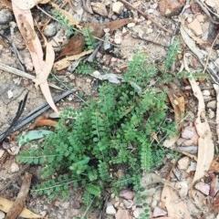 Bossiaea buxifolia (Bush Pea) at Attunga Point - 31 Jan 2019 by ruthkerruish