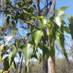 Brachychiton populneus subsp. populneus (Kurrajong) at Mount Jerrabomberra - 3 Feb 2019 by roachie