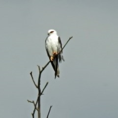 Elanus axillaris (Black-shouldered Kite) at Jerrabomberra Wetlands - 2 Feb 2019 by RodDeb