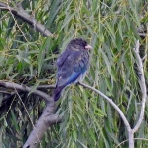 Eurystomus orientalis at Jerrabomberra Wetlands - 2 Feb 2019