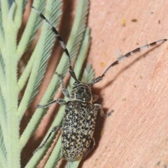 Ancita sp. (genus) (Longicorn or longhorn beetle) at Sth Tablelands Ecosystem Park - 1 Feb 2019 by Harrisi