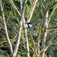Phylidonyris niger (White-cheeked Honeyeater) at Morton, NSW - 28 Jan 2019 by vivdavo