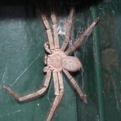 Isopeda sp.(genus) (Huntsman Spider) at Higgins, ACT - 4 Feb 2019 by Alison Milton