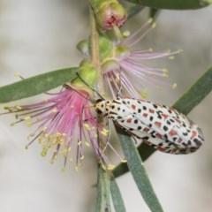 Utetheisa pulchelloides (Heliotrope Moth) at Higgins, ACT - 4 Feb 2019 by Alison Milton