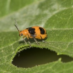 Aulacophora hilaris (Pumpkin beetle) at Higgins, ACT - 4 Feb 2019 by AlisonMilton