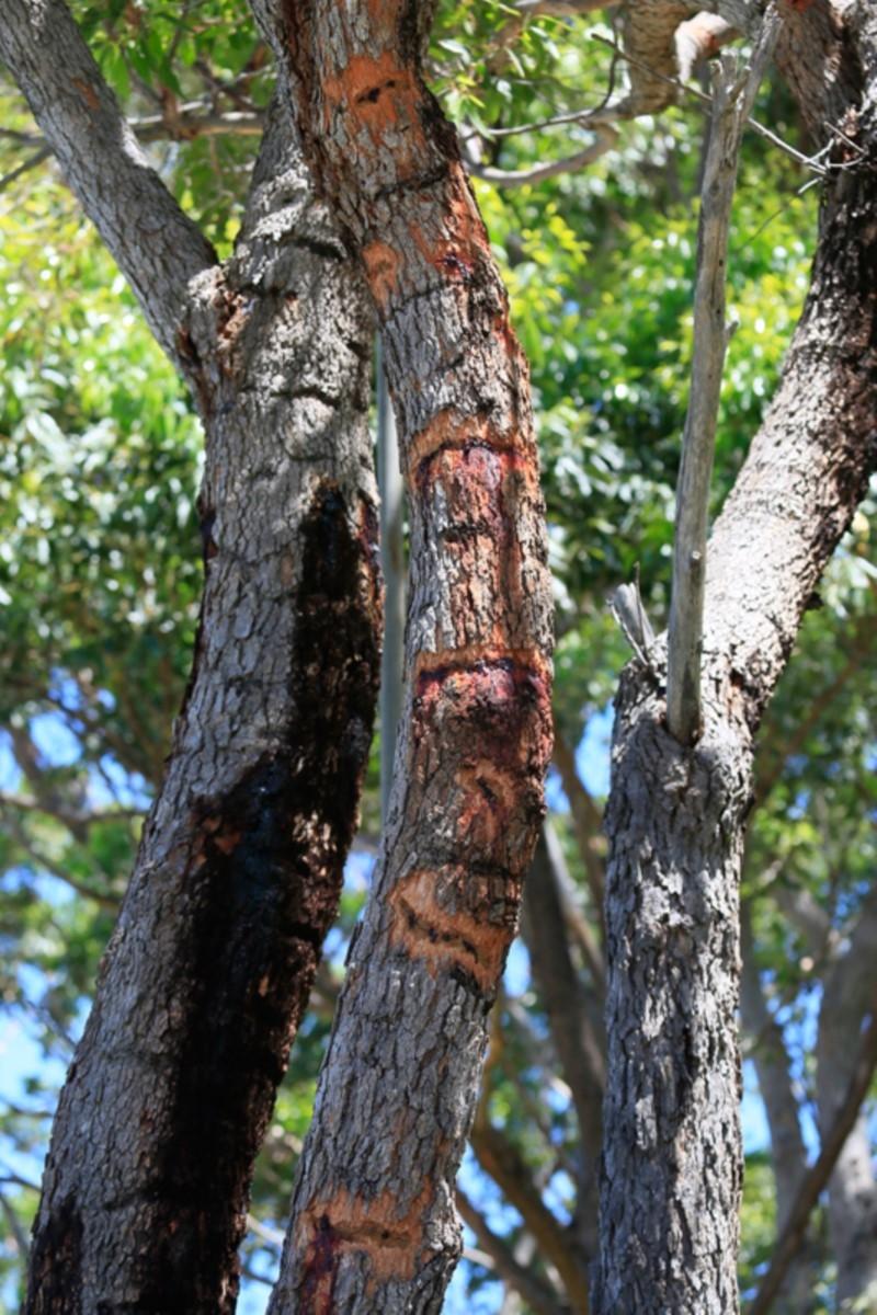 Petaurus australis at Ulladulla, NSW - 30 Jan 2019